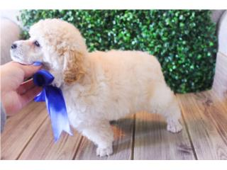 Puerto Rico Toy Poodle H & M, Perros Gatos y Caballos