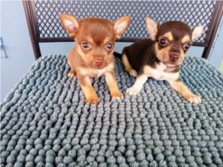 BELLOS TOY CHIHUAHUAS CON PAPELES-VACUNAS, Puppy World