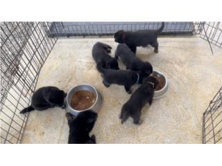 Puerto Rico CAMADA GERMAN SHEPHERD LINEA EUROPEA AKC , Perros Gatos y Caballos