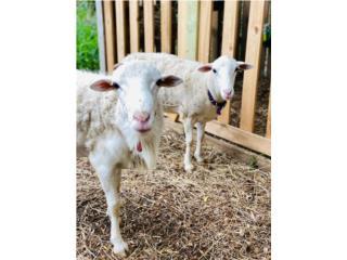 Puerto Rico Pareja de ovejas Katahdin, hembra preñada, Perros Gatos y Caballos