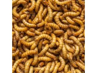 Meal worms super worms, Isabela Pet Shop