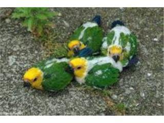 Conuros bebes, Isabela Pet Shop