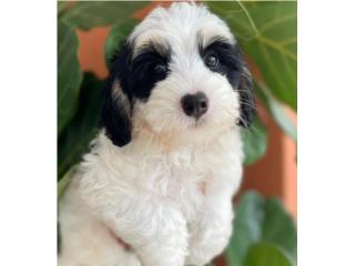 Mini Bernedoodle HEMBRA, Puppy Love PR