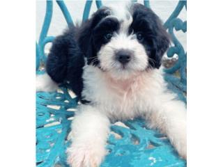 Mini Bernedoodle HEMBRA Puppy #2, Puppy Love PR