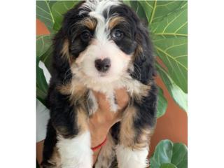 Mini Bernedoodle NENE Puppy, Puppy Love PR
