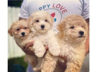 Poochon Puppy (Poodle con Bichon Frise) NENA, Puppy Love PR