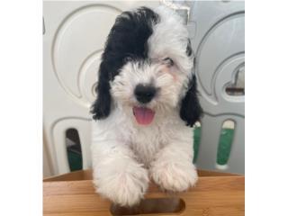 Mini Poodle Puppy en Guaynabo (nene), Puppy Love PR