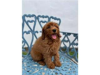 Mini Goldendoodle NENE, Puppy Love PR