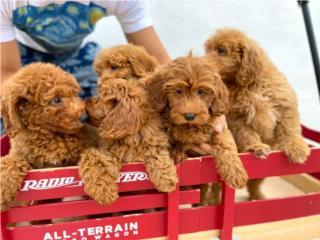 Mini Goldendoodle NENA Puppy, Puppy Love PR