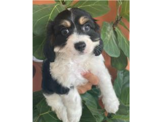 Tri-Color Cavapoo en Guayanbo , Puppy Love PR