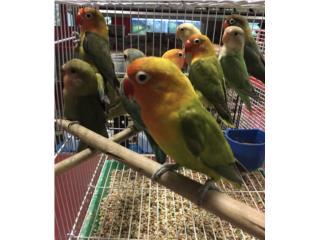 Lovebirds , Isabela Pet Shop