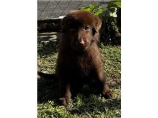 Puerto Rico German Shepherd AKC Solid livers, Perros Gatos y Caballos