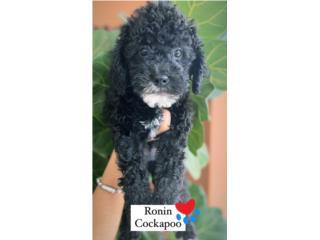 F1B Cockapoo Puppy en Guaynabo (Nene), Puppy Love PR