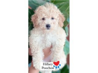 Poochon Puppies (Poodle con Bichon) nena/e, Puppy Love PR