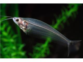 Glass Catfish, AQUARIUM XTRA