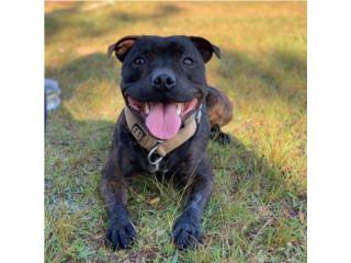 Puerto Rico Stafforshire Bull Terriers , Perros Gatos y Caballos