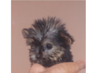 YORKIE HEMBRA DOLL FACE CON PAPELES, Dogs
