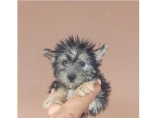 YORKIE TOY MACHITO CON PAPELES, Dogs