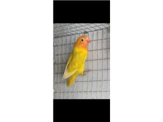 Love bird anillado calidad, Animal Sales
