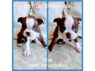 ESPECTACULAR BOSTON TERRIER RED Y OJOS AZULES, Puppy world