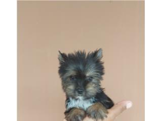 YORKIE TOY HEMBRA CON PAPELES , Dogs