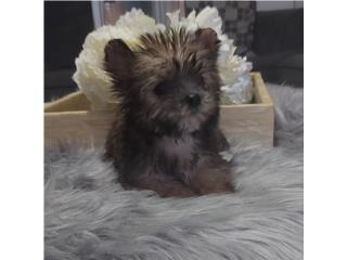 YORKIE TOY HEMBRA EXCELENTE CALIDAD , Dogs