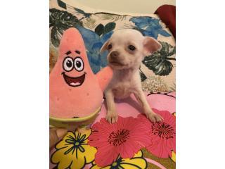 Toy Chihuahuas , J Rivera