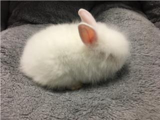 Conejos lion head doble factor , Isabela Pet Shop