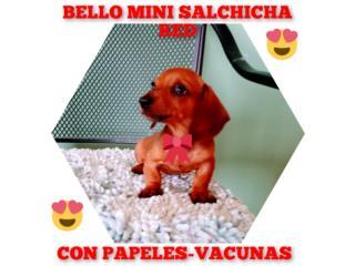 BELLO MINI SALCHICHA RED CON PAPELES-VACUNAS, Puppy world