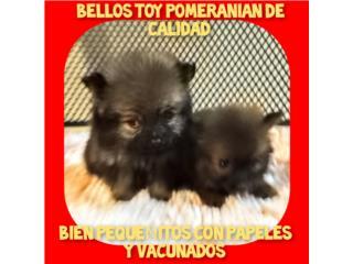 BELLOS TOY POMERANIAN DE CALIDAD CON PAPELES, Puppy world