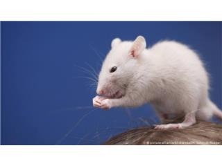 Ratas ratones y hamster desde pinki a Xl, Isabela Pet Shop