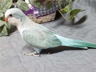 Opalino Azul Quaker - Bebe para criar a mano, Vivian
