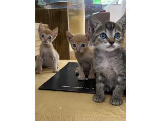 Puerto Rico Preciosos gatitos buscan su forever home , Perros Gatos y Caballos