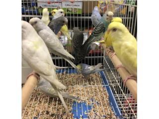 Pericos, Isabela Pet Shop