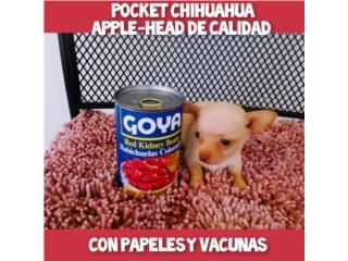 BELLA POCKET CHIHUAHUA APPLE-HEAD CON PAPELES Puerto Rico