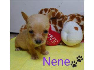 Clasificados Online Mascotas Chihuahua Toy Listos para Entregar