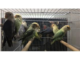 Lovebirds Jóvenes , Isabela Pet Shop