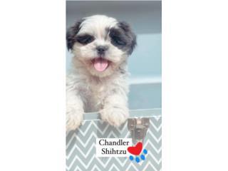 Shih Tzu Puppy, Puppy Love PR