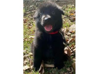 Puerto Rico German Shepherd  Solid Black AKC, Perros Gatos y Caballos