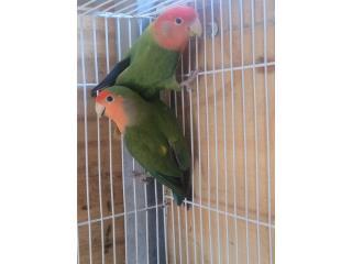 Pareja de love bird hembra opalina, Animal Sales