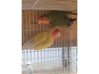 Pareja de love bird macho porta OPA, Animal Sales