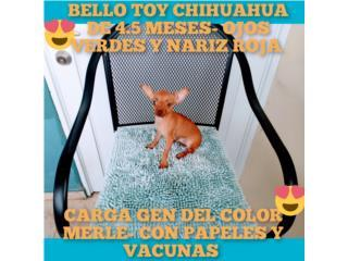 TOY CHIHUAHUA-5 MESES-CARGA GEN MERLE-PAPELES, Puppy world