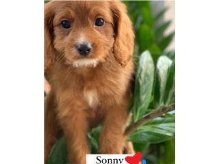 Cavapoo Puppy de 10 semanas, Puppy Love PR