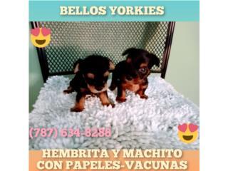 BELLOS YORKIE DE CALIDAD H Y M CN PAPELES-VAC, Puppy world