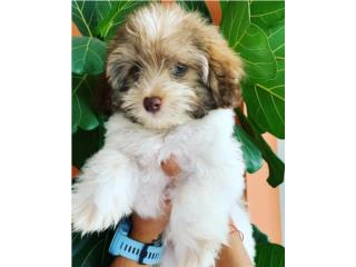 Havanese Puppy, Puppy Love PR