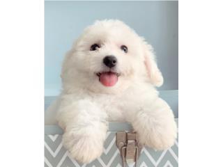 Bichon Frise Puppy, Puppy Love PR