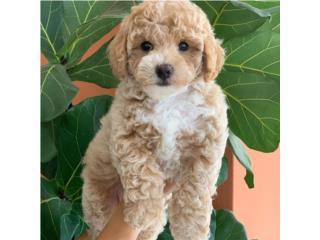 Poochon (Poodle con Bichon) Puppy , Puppy Love PR