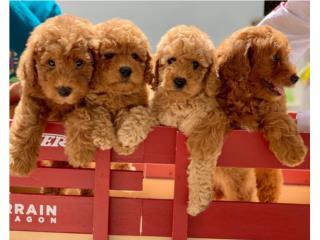 Mini Goldendoodle Puppy, Puppy Love PR