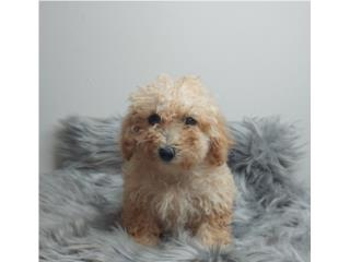 TOY POODLE HEMBRA CON PAPELES , Dogs