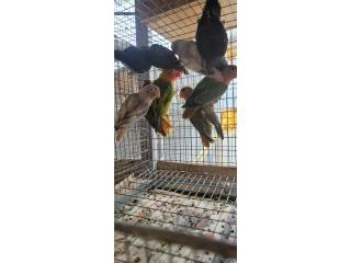 Lovebird anillado y opalinos disponibles , Animal Sales